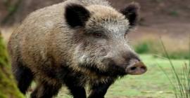'Bioinvasão' com aproximadamente 200 mil javalis causa prejuízos e reação de caçadores em SC